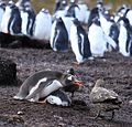 Gentoo Penguin guards its chick from Brown Skuas (5751201889).jpg