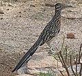 Geococcyx californianus -Tucson -Arizona -USA-8.jpg