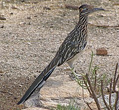 Geococcyx californianus -Tucson -Arizona -USA-8.jpg