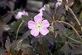 Geranium maculatum Elizabeth Ann 0zz.jpg