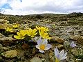 Gevne yolunda çiğdem ve çiçekler - panoramio.jpg