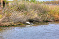 Gfp-texas-galveston-island-state-park-egret-fishing-for-prey.jpg
