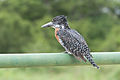Giant Kingfisher 2338006293.jpg