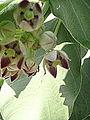 Giant Milkweed (4066995672).jpg
