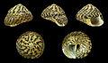 Gibbula umbilicalis 01.JPG