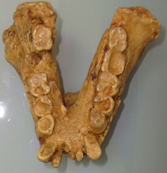 http://upload.wikimedia.org/wikipedia/commons/thumb/a/ae/Gigantopithecusjaw.jpg/579px-Gigantopithecusjaw.jpg