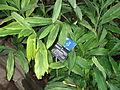 Gingembre du jardin botanique de Lyon.jpg