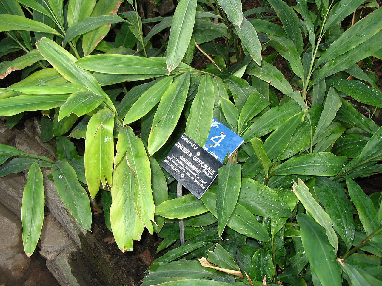 File gingembre du jardin botanique de wikimedia - Jardin botanique de lyon ...