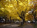 Gingko Ave. in Fall.jpg