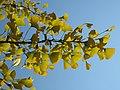 Ginkgo leaves (Vaires) 4.jpg
