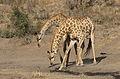 Giraffe, Giraffa camelopardalis at Mahone Loop, Punda Maria, Kruger National Park, South Africa (20827456421).jpg