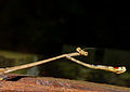 Giraffe Mantis (Euchomenella heteroptera) female (15661800692).jpg