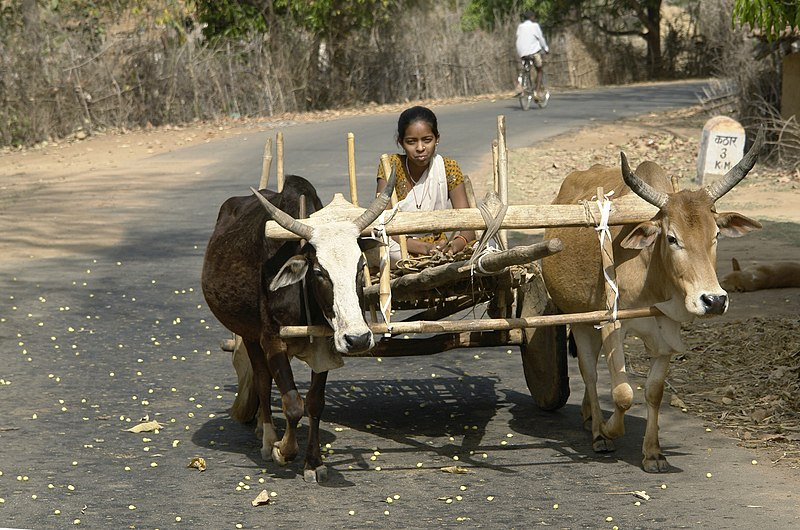 File:Girl on bullock cart, Umaria district, MP, India.jpg