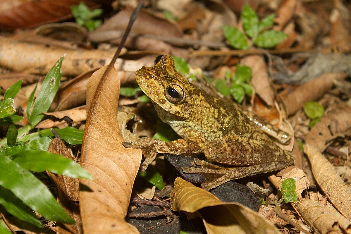 Rosenberg's tree frog - Wikipedia
