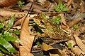 Gladiator treefrog Hypsiboas rosenbergi (Boulenger, 1898).jpg