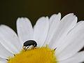Glanzkäfer (Nitidulidae) (6953429458).jpg
