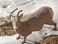 Goat 1 (4280703860).jpg