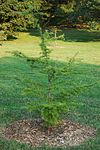 Golden-Larch Pseudolarix kaempferi Tree 2000px.jpg