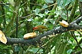 Golden-olive Woodpecker 2015-06-04 (1) (39598667074).jpg