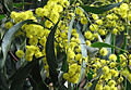 Golden-wattle-australia.jpg