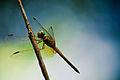 Golden Dragonfly (4157912430).jpg