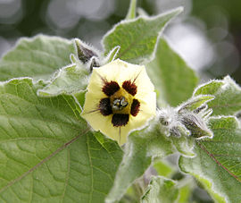 Gooseberry flower.jpg