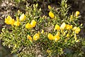 Gorse in Early Spring - panoramio.jpg