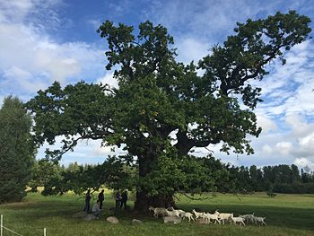 Grīdnieku Ancient Oak In Rumbas Parish Latvia Girth 8 27m 2017