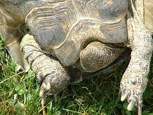 Spur-thighed tortoise - Testudo graeca, male