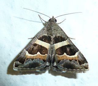 <i>Grammodes stolida</i> Species of moth