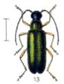Grammoptera ustulata.png
