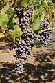 Grapes (1068116081).jpg