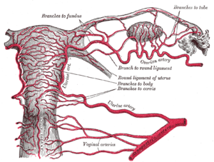 Uterine artery embolization - Arteries of the female reproductive tract (posterior view): uterine artery, ovarian artery and vaginal arteries.