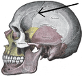 Gray188-Coronal suture.png