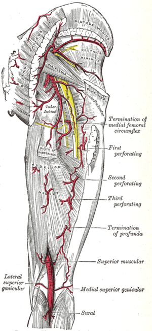 Adductor hiatus - The arteries of the gluteal and posterior femoral regions. (Adductor hiatus is not labeled, but popliteal artery is visible at bottom center.)