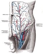 Femoral vein - Wikipedia