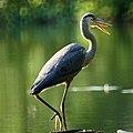 Great Blue Heron (5953031430).jpg