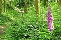 Great Chalk Wood - geograph.org.uk - 1386402.jpg