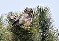 Great Horned Owlets (33428190884).jpg