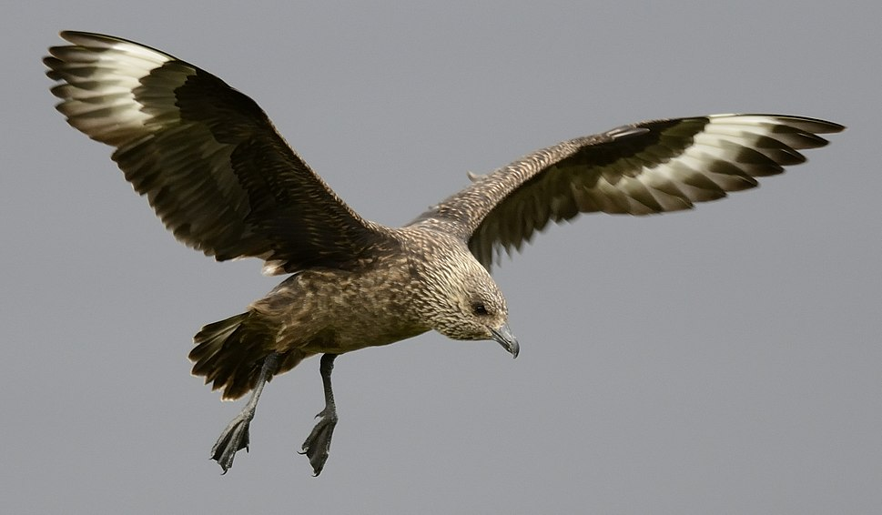 Great Skua (cropped)
