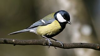 Great Tit (Parus major) (2).jpg