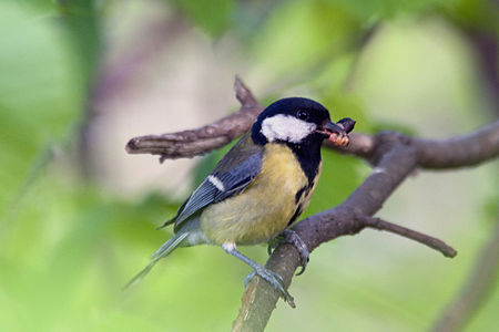 Great Tit Lodz(Poland)(js)12.jpg
