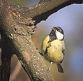 Great tit (39538210205).jpg