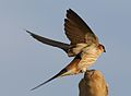 Greater Striped Swallow, Hirundo cucullata (syn. Cecropis cucullata), at Marievale Nature Reserve, Gauteng, South Africa (30469693686).jpg