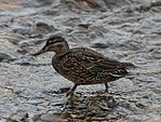 Green-Winged Teal Duck (7692333610).jpg
