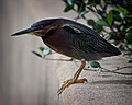 Green Heron Entering the Lions' Den (6733548849).jpg