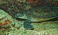 Green Turtle (Chelonia mydas) (6082665317).jpg