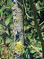 Green and yellow lichen in Hatfield Broad Oak Essex England.jpg