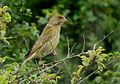 Greenfinch (Carduelis chloris), Le Petit Loc'h, Guidel, Brittany, France (19372084154).jpg