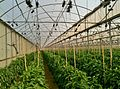 Greenhouse Israel IMG 3136.JPG